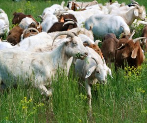Weed-eating goats are back in city parks